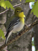 Yellow throated vireo fall - photo#17