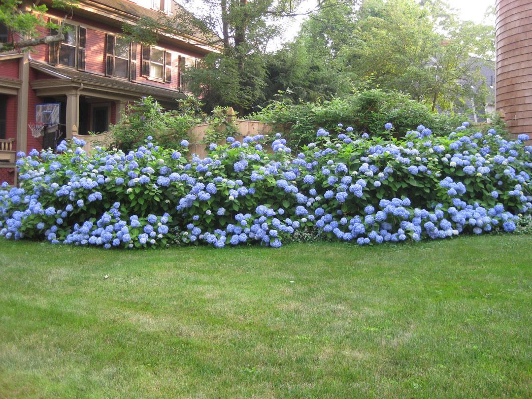 My ES Hydrangea Hedge : hydrangeas from forums.gardenweb.com size 1080 x 810 jpeg 371kB